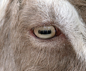 goats pupils are rectangular, world is ending