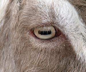 goats pupils are rectangular, world is ending