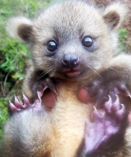 Baby-Olinguito1-500 teeth olinguito