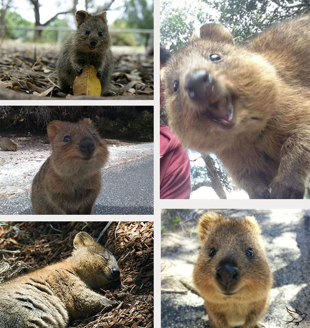15-02-smiling-happy-quokka-austrailia