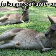 16-04-female-kangaroos-have-3-vaginas