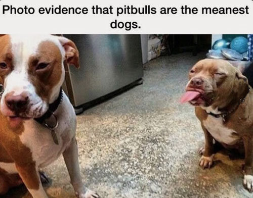 16-04-pitbull-meanest-dogs-savage-animals-off-streets