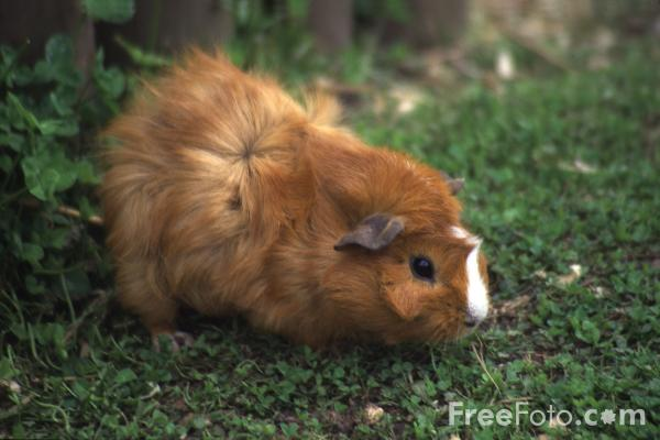 Picture of Guinea Pig - Free Pictures - FreeFoto.com