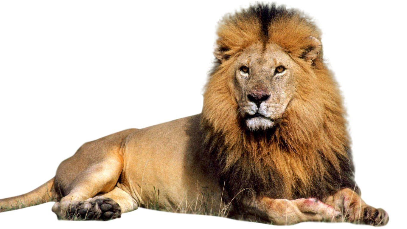 Male Lion PNG Clipart 42271  Free Icons and PNG Backgrounds