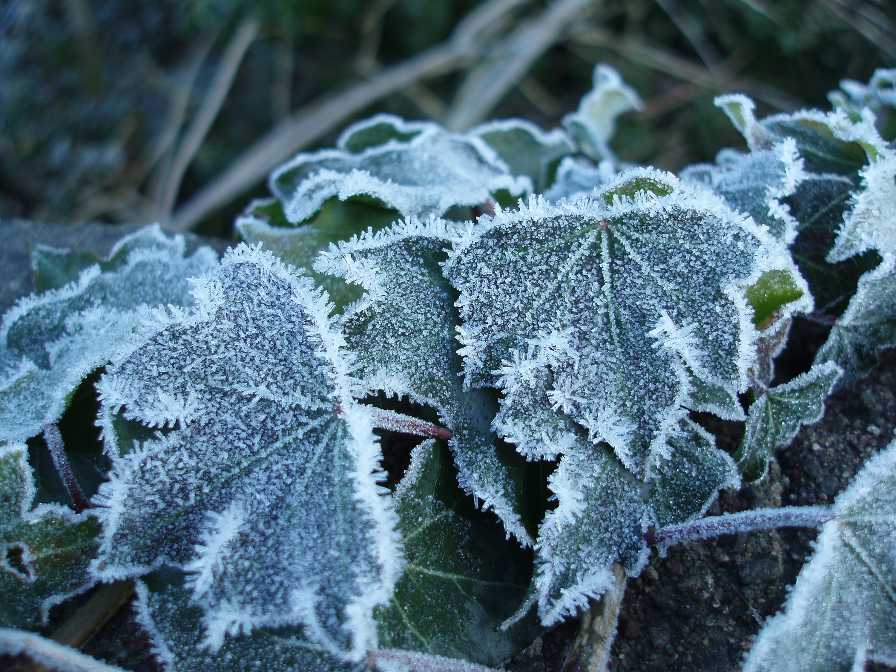 Hd Fall Winter Wallpaper Free Stock Photo 3456 Frozen Ivy Leaves Freeimageslive