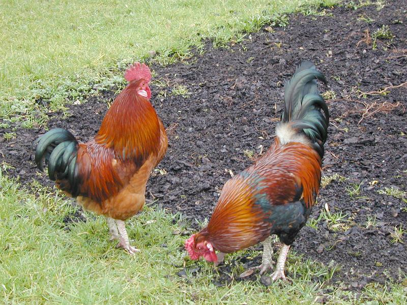 Free Stock Photo: a pair of chickens (roosters) on a farm