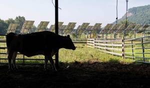 a cow near a farm crops solar panels