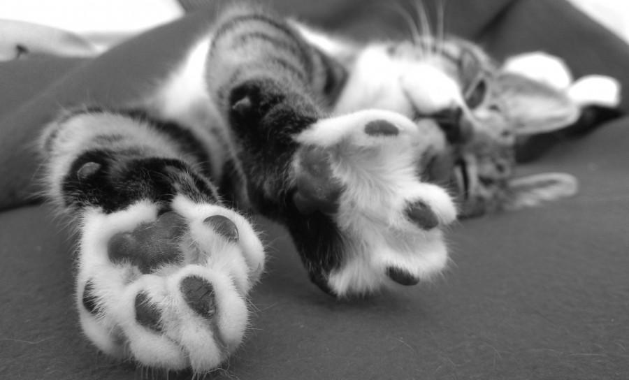 Cute White Cats And Kittens Wallpaper Imagen De Patas De Gato En Blanco Y Negro 【foto Gratis