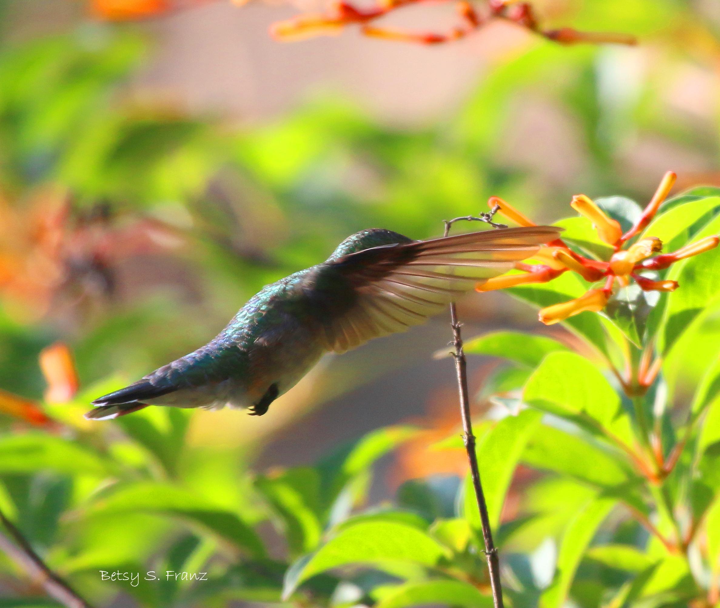 Hurricane Hummingbirds