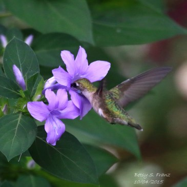 Plants that Attract Hummingbirds to Florida Gardens