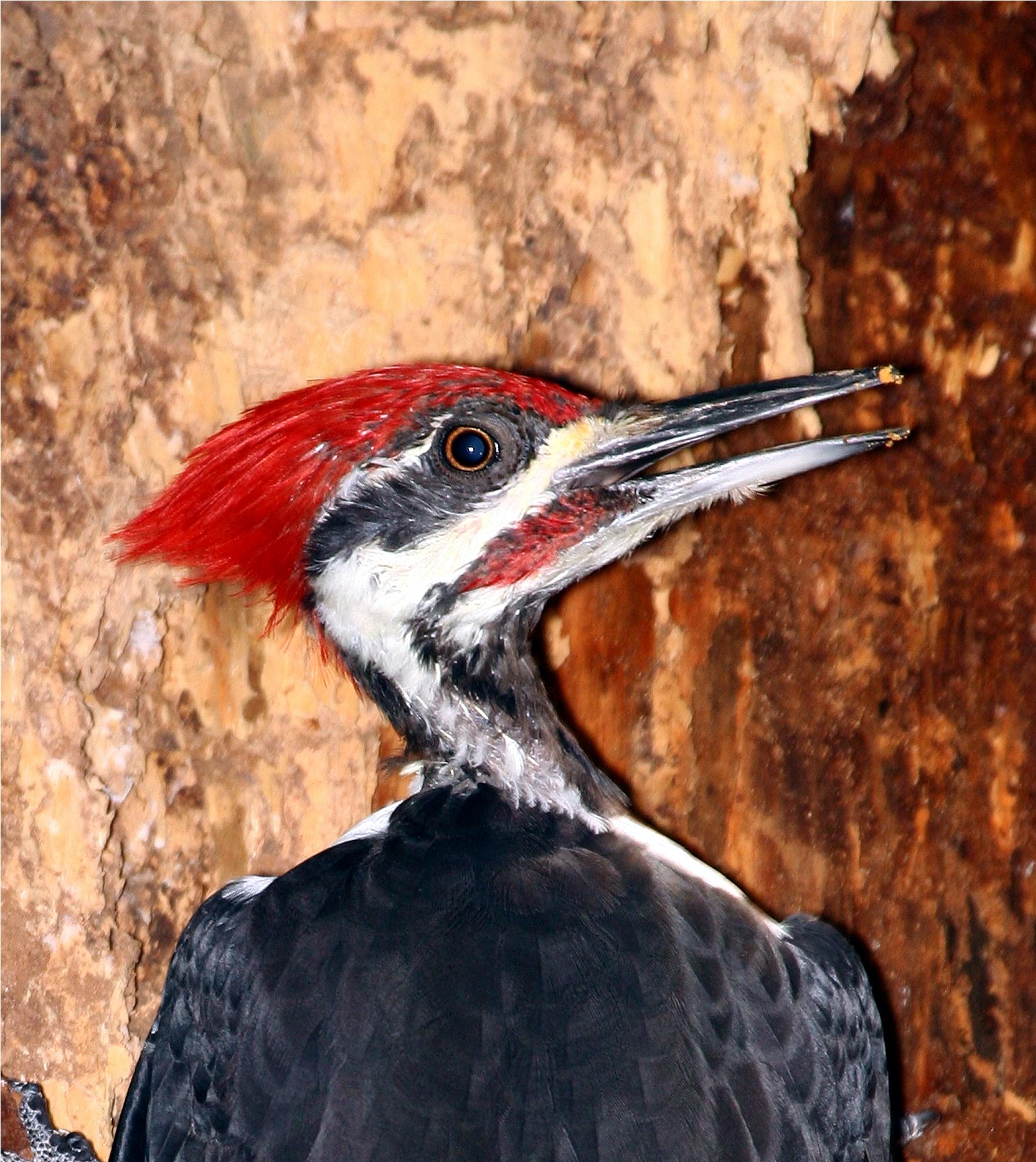 Backyard Birding Life List