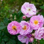 pink flowers growing farm