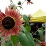 pink sunflower in bloom farm spring