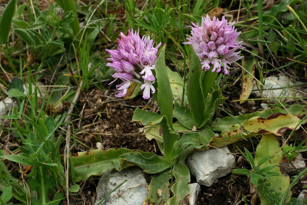 Resultado de imagem para Orchis italica
