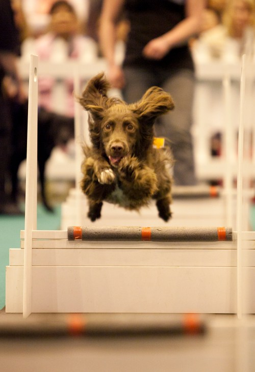 Dog agility at the National Pet Show