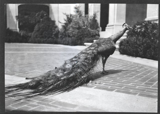 Black and white image of a peacock with feathers pointed down, standing in the freer courtyard.