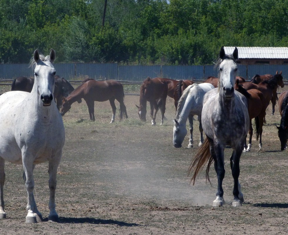 Two white horses in motion, brown horses behind, milling about.