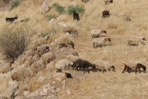 Sheep Visitor at Ban Qala