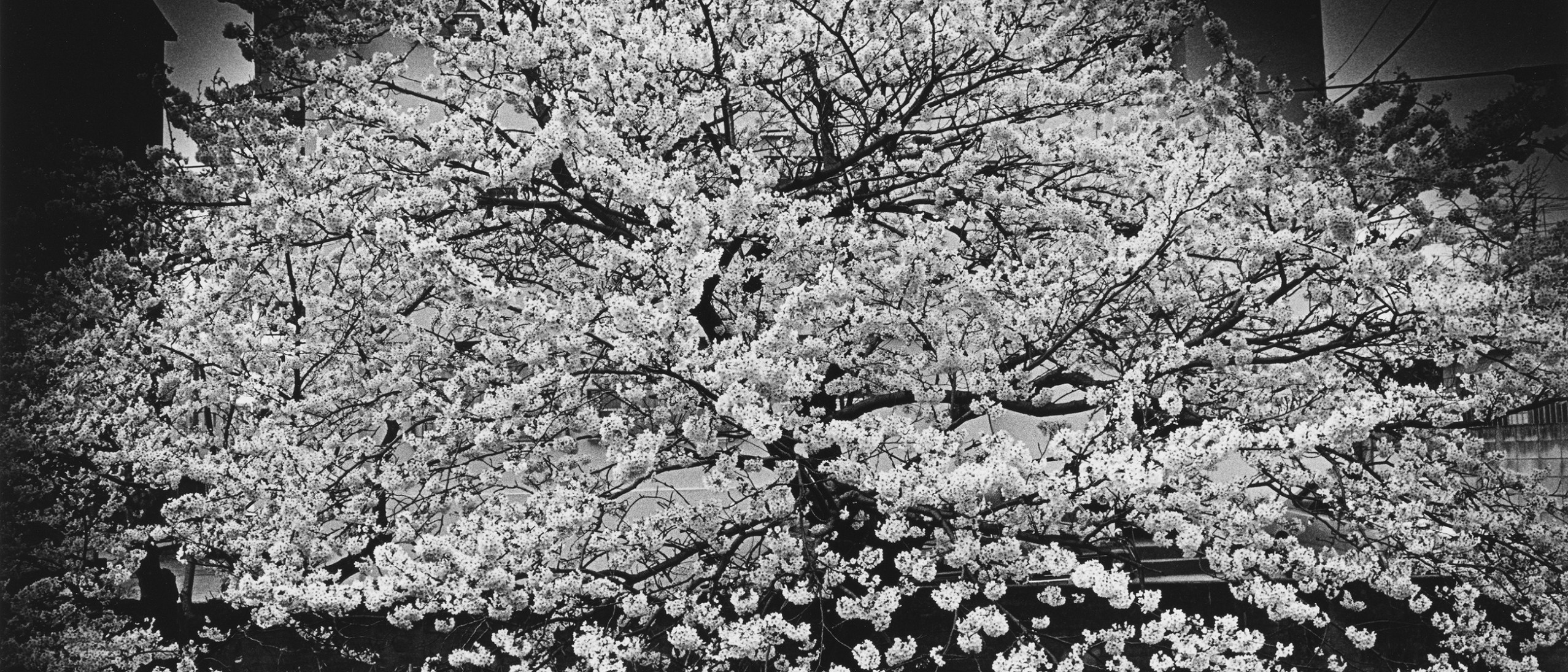 Detail photograph, Cherry Blossoms; Moriyama Daido (b. 1938, Ikeda City, Japan); Gelatin silver print, 1982; Purchase—Friends of the Freer and Sackler Galleries S2012.10