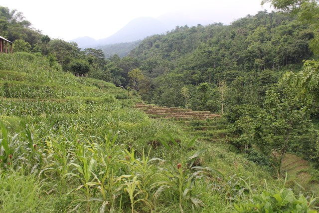 Rice fields on Mt. Penanggungan