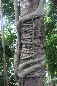 Tree wound with vines