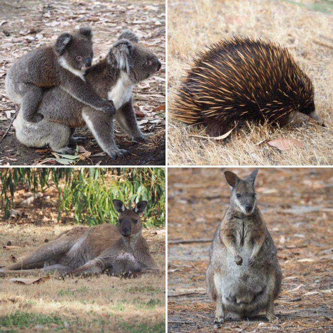 Abundant wildlife at KI caravan park