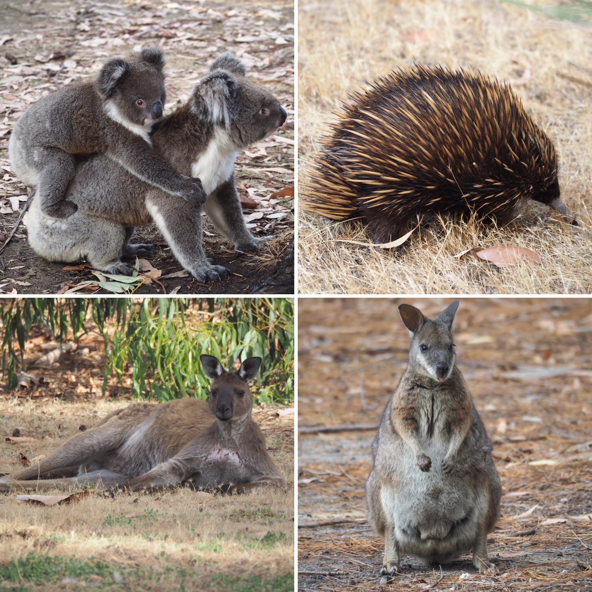 Kangaroo Island: Four Days Of Wildlife: Escape To Kangaroo Island