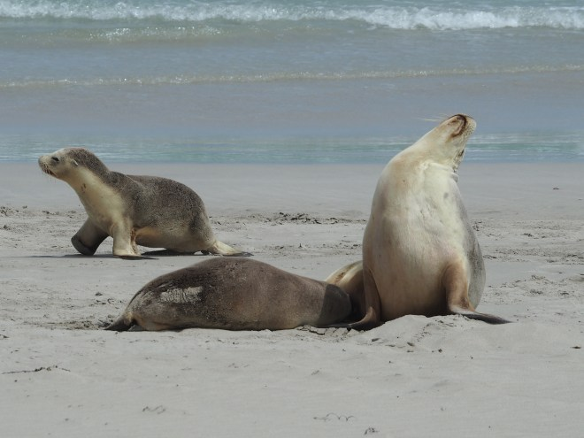 The seals at Seal Bay