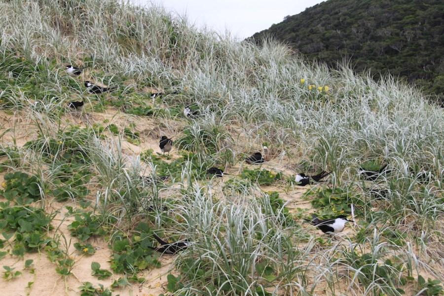 Nesting birds on Blinky Beach
