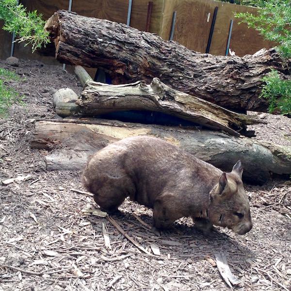 Wombat at Moonlit Sanctuary