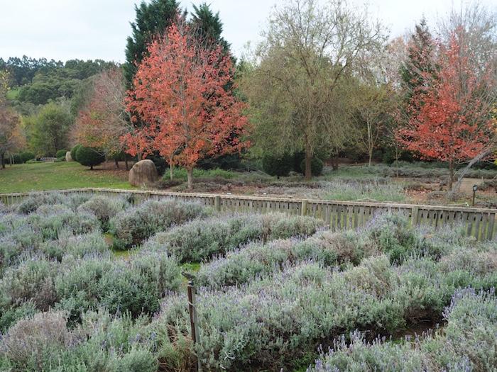 The Ashcombe Maze's Lavender garden
