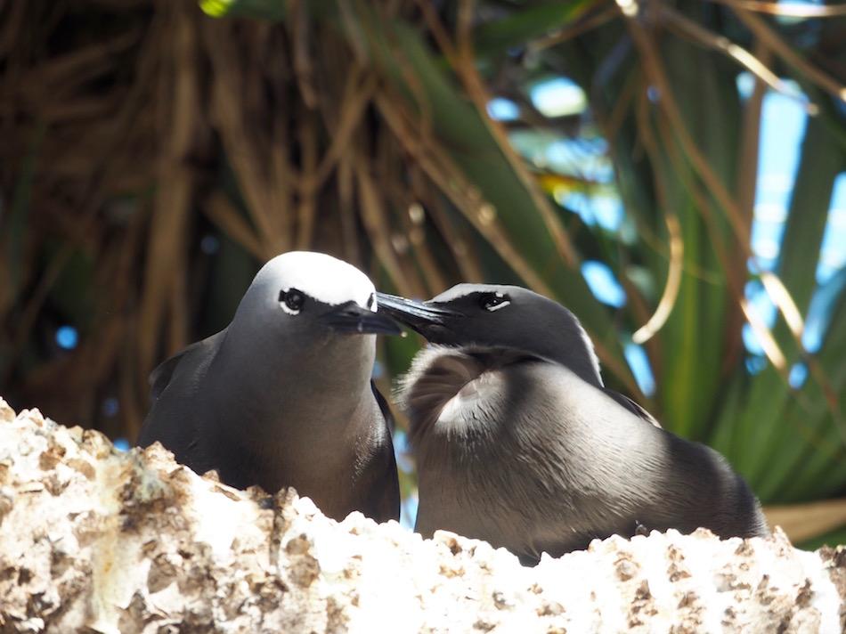 A couple of Black Noddy Terns.