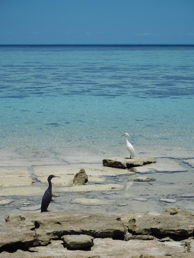 Herons on Heron island!