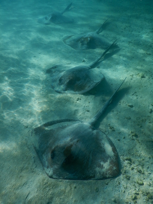 School of Stingrays lying on the sand in the shallow waters.