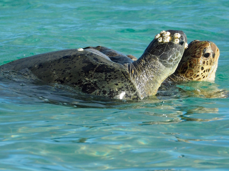 Two turtles mating close to shore