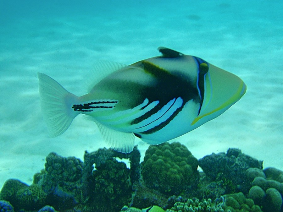 A Whitebanded Triggerfish.