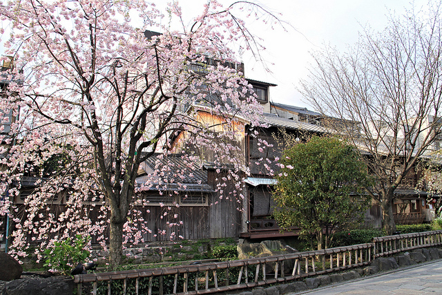 Cherry blossom in the Gion district.