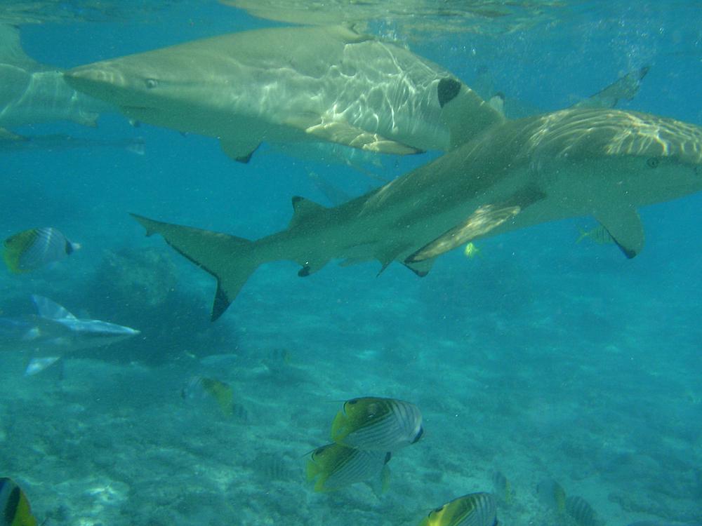 Many hungry sharks!