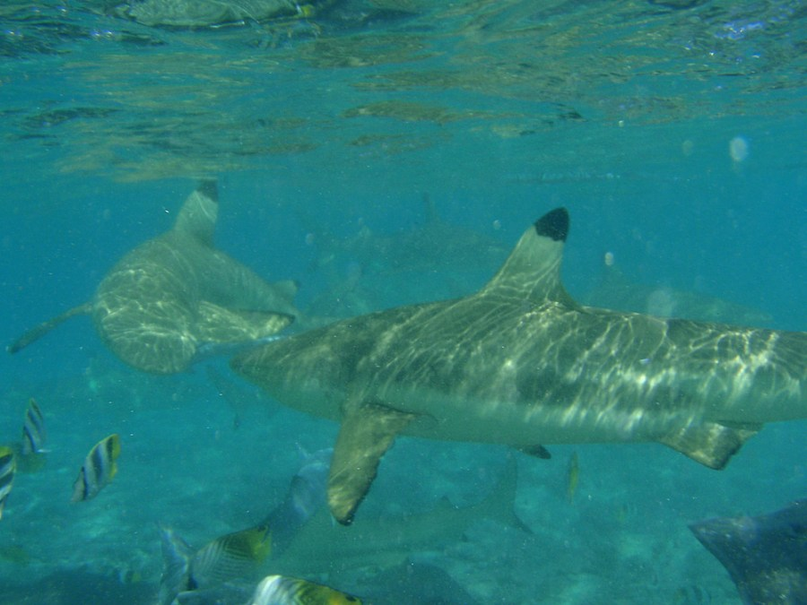 Snorkelling with the reef sharks!