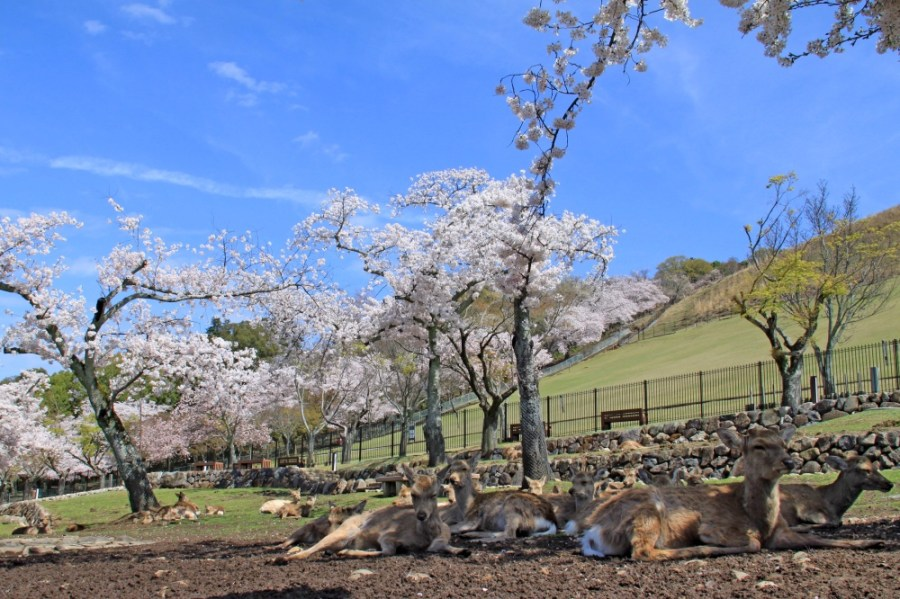 Cherry blossom in the Nara-Koen Park with some friendly locals relaxing!