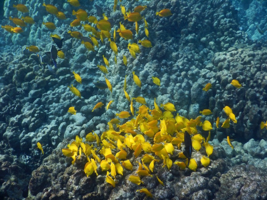 A school of Yellow Tang at Two-Steps.
