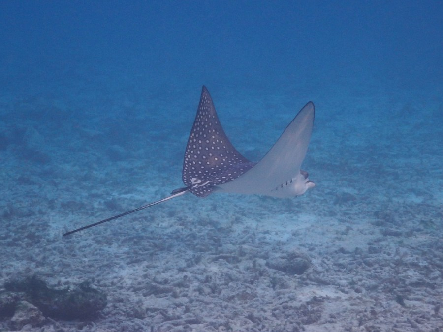 An eagle ray swimming near the water villas.