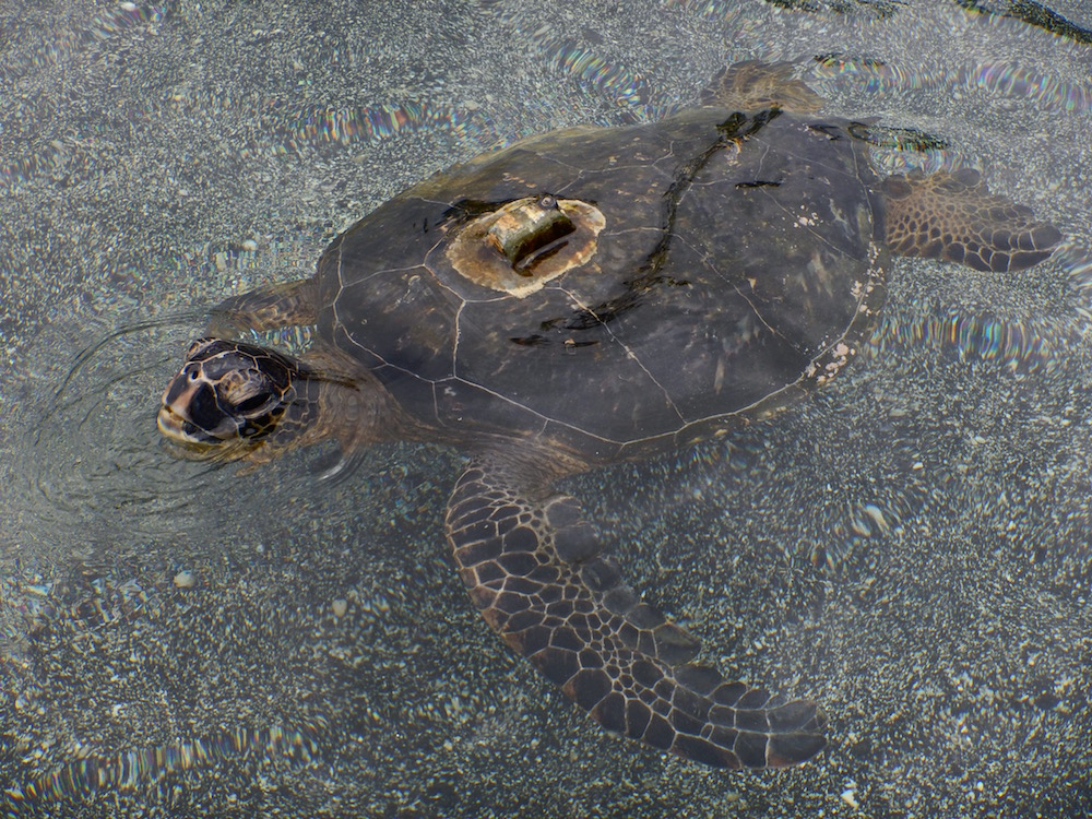 At Kahalu'u Beach Park you can see turtles standing on shore.