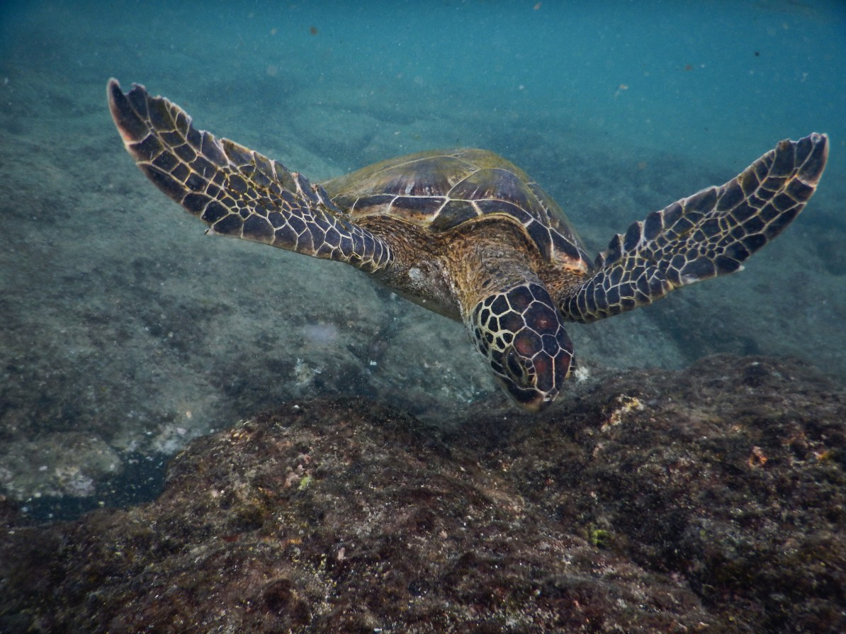 Sea turtles spotting at Honaunau Bay.