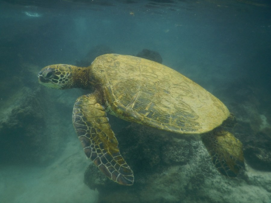 Swimming with huge turtles at Carlsmith Beach Park.
