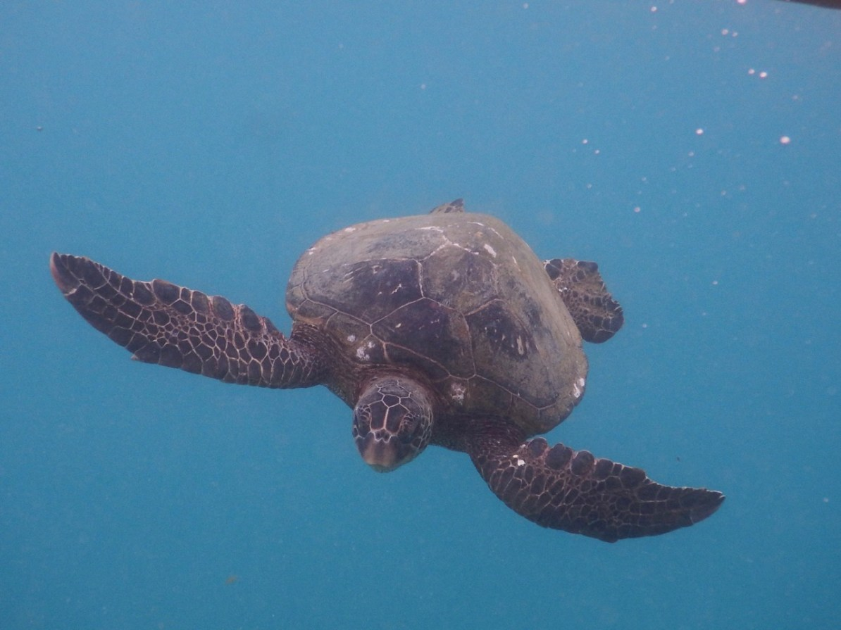 A cheeky turtle coming to say hello at the Nualolo Kai reef.