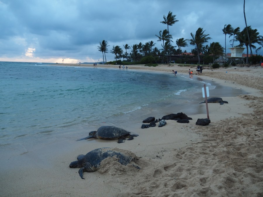A few turtles resting on Poipu beach at sunset.
