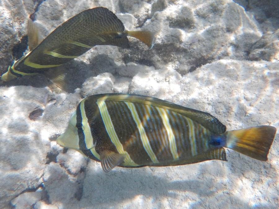 Selfin Tangs at Hanauma Bay.