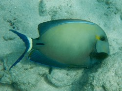 Yellowfin Surgeonfish.