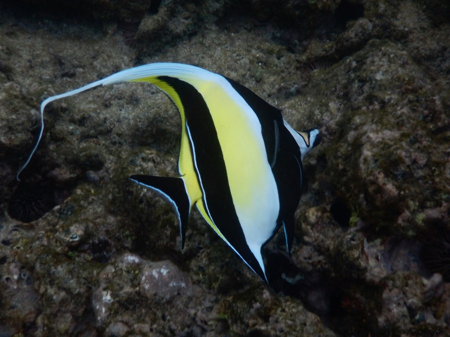 A Moorish Idol.